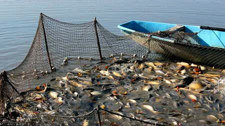 carne : Freshwater fish ; Fishing net full of Carp caught on a fishing farm,video clip