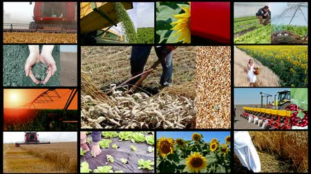 горох : Agriculture multi screen ; Agricultural machinery and field work,montage multiscreen Стоковые видеозаписи