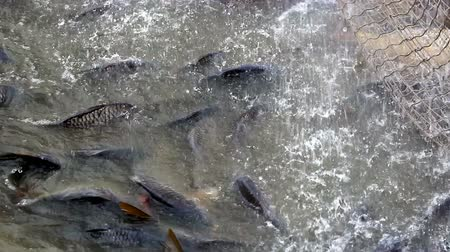 carne : Industry for freshwater fish farming ; Fish caught in a fishing net in a freshwater pond,video clip