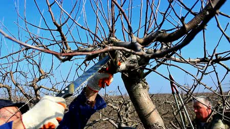 velo : Pruning of orchards ; Two fruit grower working spring pruning fruit trees in the orchard,video clip