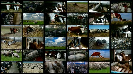 sheep pig : Livestock breeding- split screen ; Various farm animals from farms, stables and pasture land in a split screen video clip Stock Footage