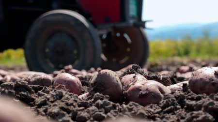 brambory : Raw potatoes in close-up ; Farm work on the field with potatoes,video clip