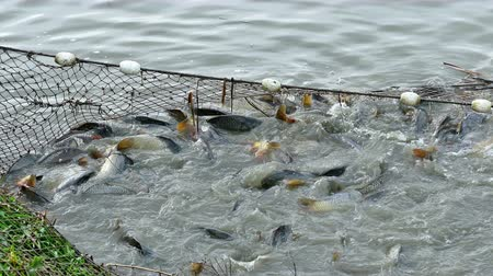 meat stock : Breeding and fishing on the pond ; Fishing net full of carp caught in freshwater ponds.video clip