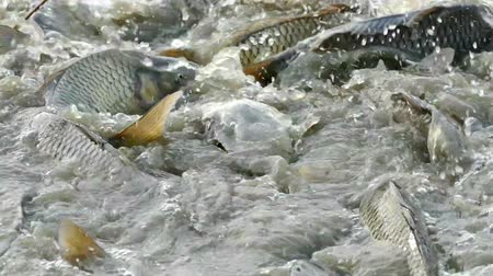 carne : Fish Farm-Freshwater fish ; Fishing net full of carp caught in freshwater ponds.video clip
