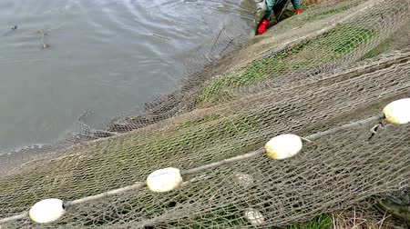 meat stock : Fishing industry- pulling a fishing net ; Fishermen pulling a fishing net on freshwater pond,video clip