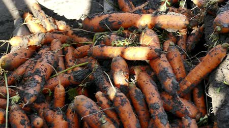 part of clip : Processing of fresh carrots ; Mass production and harvest of carrot roots with modern agricultural machinery,video clip