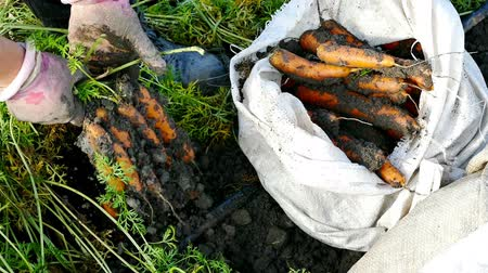 havuç : Pickers carrots in a field ; Agricultural workers picking carrots on a plantation,video clip
