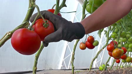 picked up : Organically-grown tomatoes ; Picking organic tomatoes produced in the greenhouse