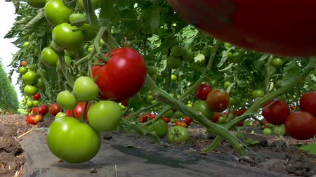 picked up : Picking organically-grown tomatoes ; Picking organic tomatoes produced in the greenhouse