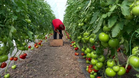 Organic tomatoes in a greenhouse ; Picking organic tomatoes produced in the greenhouse