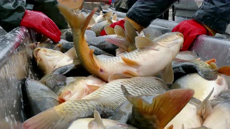 fish farm : Carp caught in the fish pond ; Fishing industry workers classify fish caught on a treadmill
