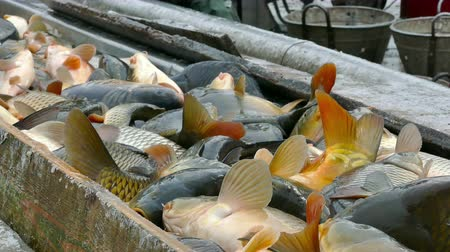 Carp on the sorting line ; Fishing industry workers classify fish caught on a treadmill