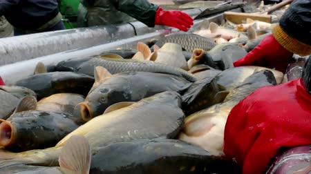 Fresh fish on the fishpond ; Fishing industry workers classify fish caught on a treadmill Wideo