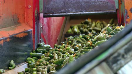 Gherkins on the line processing ; Production line for calibration and processing of young green cucumber used for pickling
