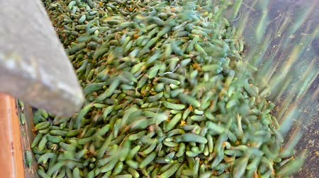A Lot of Raw Cucumbers ; Production line for calibration and processing of young green cucumber used for pickling Wideo