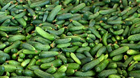 Young green cucumber used for pickling ; Production line for calibration and processing of young green cucumber used for pickling Wideo