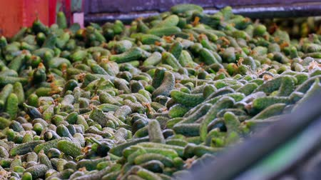 соленья : Freshly Harvested Gherkins for Further Processing  Production line for calibration and processing of cucumbers