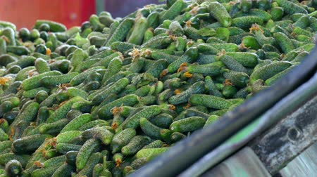соленья : Fresh Gherkins for Processing  Production line for calibration and processing of cucumbers