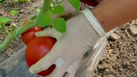 picked : Freshly Picked Organic Tomatoes  Picking organic tomatoes produced in the greenhouse Stock Footage