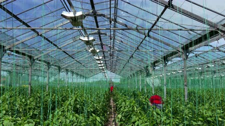 picked : Greenhouse for Organic Growing Vegetables  Farmers harvested ripe organic vegetables in a greenhouse