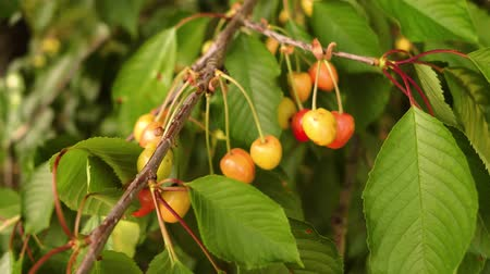 red cherries on a branch Filmati Stock