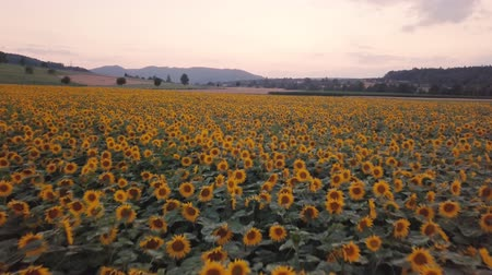 sundown over a field of sunflowers