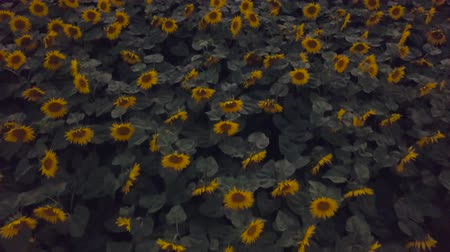 Flying over a sunflower field at dusk