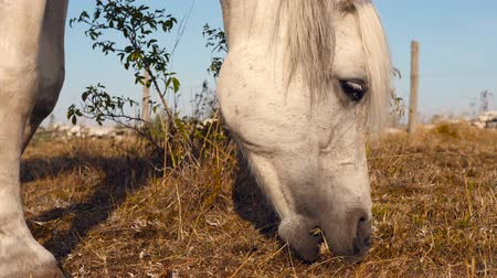 a white horse graze in a dry meadow