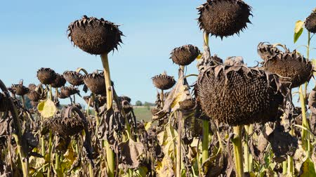 a withered sunflower field