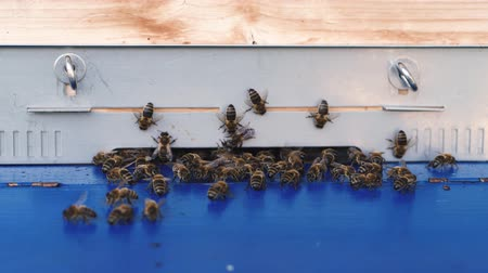 опылять : Apiary with many bees flying in and out