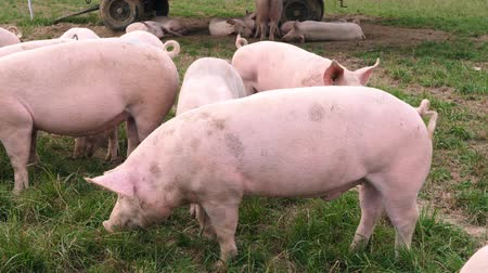 breeding season : free roaming pigs in a meadow