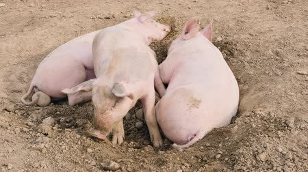 porquinho : several pigs enjoy their large territory