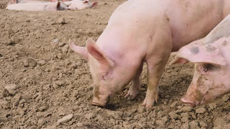 mal cheiroso : some pigs are lazing in the dirt Stock Footage