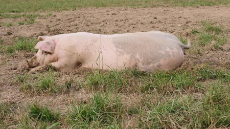 бекон : some pigs are lazing in the dirt Стоковые видеозаписи