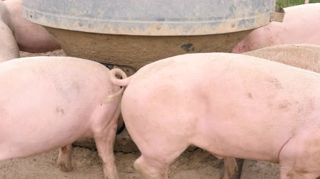 koca : Happy pigs eat out of a trough
