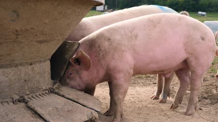 porquinho : Happy pigs eat out of a trough