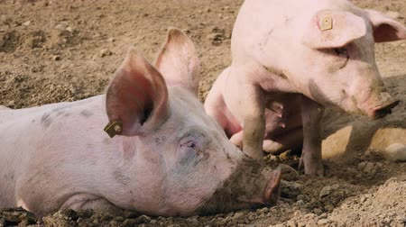 svině : several pigs enjoy their large territory