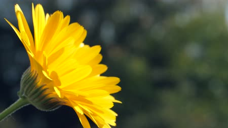 calendula officinalis : a marigold in front of a blurred background