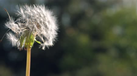 хрупкость : a dandelion whose seeds fly away in the wind