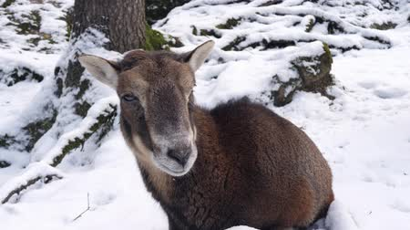billy goat : a mountain goat in winter