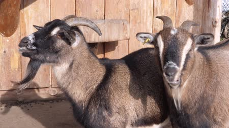 koza : some brown goats in front of a barn