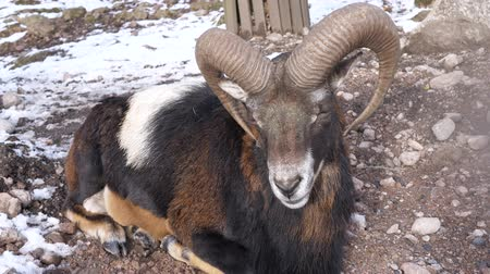 deer : a ram is sitting on the snow