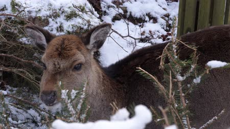 cervus elaphus : a shy deer in winter eats some needles Stock Footage