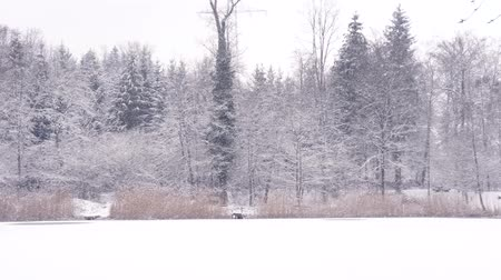 sazlık : a beautiful winterwonderland with firs, reeds and a frozen lake Stok Video