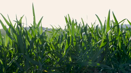 grassen : grasses moving in the wind with a sunset in the background Stockvideo