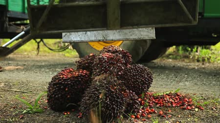 palm oil plantation : Crane Collecting Palm Oil Fruit Bunches Stock Footage
