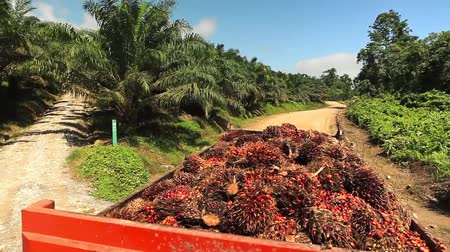 oil industry : Organg Truck Full Of Palm Oil Fruits Moving Stock Footage