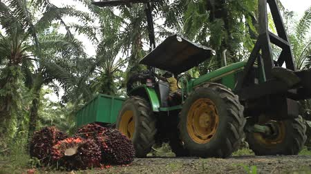 palm oil plantation : Tractor Collecting Palm Oil Fruit Bunches