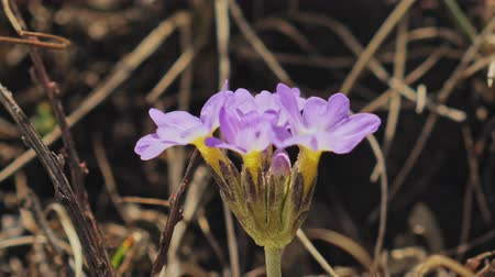 kankalin : Highlands spring, wild primula bloom, gentle flower petals shake on wind, Nepal