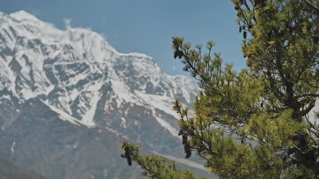 hegytömb : Highlands, green pine with big cones in front of snow mountain, blue sky, Nepal